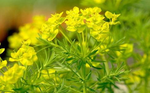 Zypressen-Wolfsmilch (Pflanze)