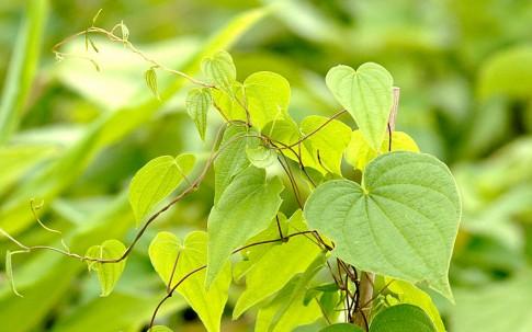 Schmerwurz (Pflanze)