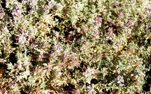 Silberthymian (Pflanze)