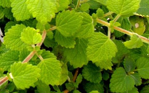 Weihrauchpflanze, grün (Pflanze)