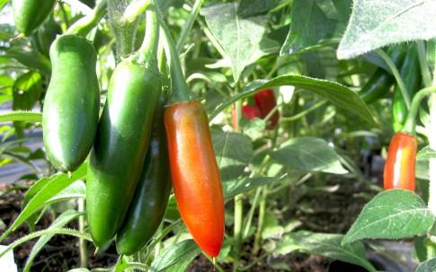 Chili 'Hidalgo' (Saatgut)