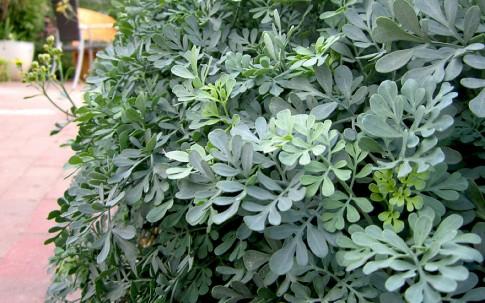 Weinraute 'Jackman's Blue' (Pflanze)