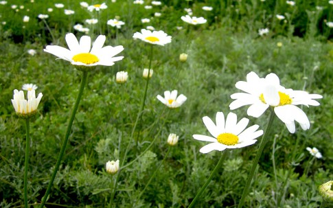 Pyrethrum 'High Potency' (Pflanze)