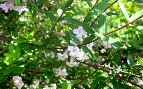 Fliederblütiges Geißblatt (Pflanze)