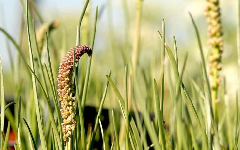 Stranddreizack (Pflanze)