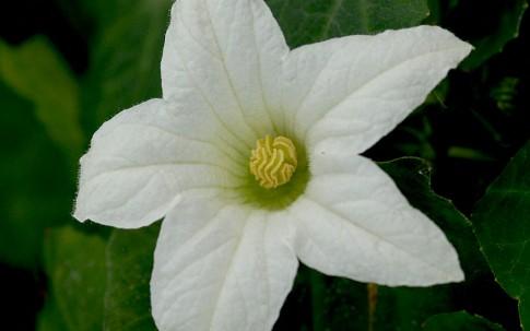 Efeu-Gurke, männlich (Pflanze)
