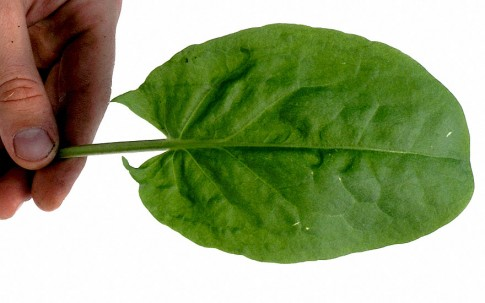 Sauerampfer (Saatgut)