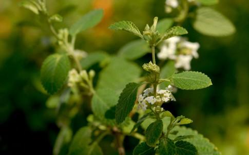 Mexikanischer Oregano, weiß (Pflanze)