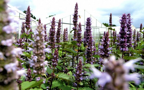 Agastache 'Korean Zest' (Pflanze)