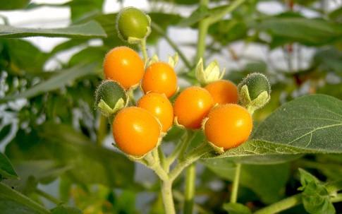 Zwerg-Tamarillo (Pflanze)