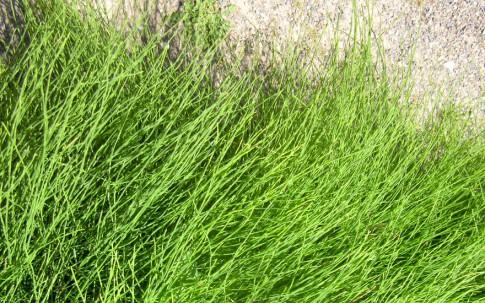 Zinnkraut (Schachtelhalm) (Pflanze)