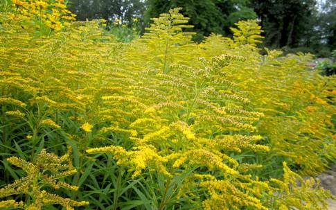 Anisgoldrute (Pflanze)
