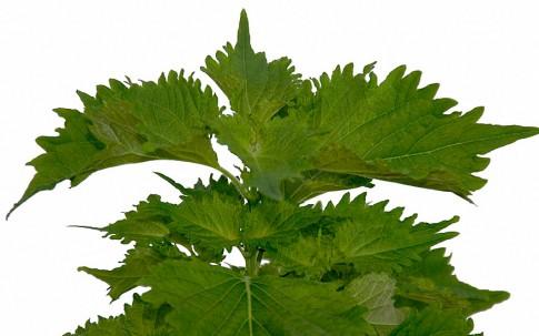 Perilla, grün (Shiso) (Saatgut)