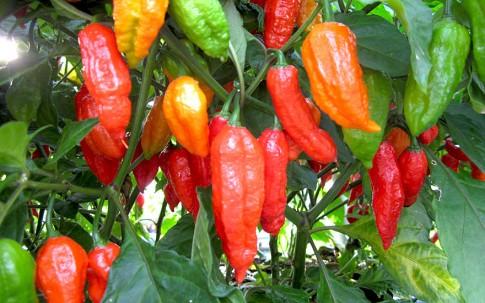 "Chili ""Naga Jolokia"" (Pflanze)"