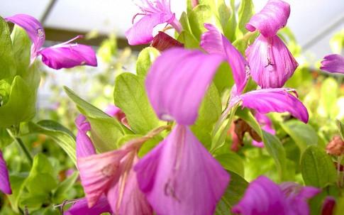 Reisfärbepflanze (La Cam) (Pflanze)