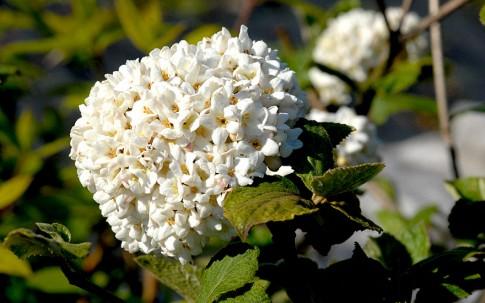 Duftschneeball (Pflanze)