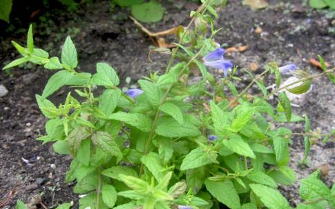 Sumpf-Helmkraut (Pflanze)