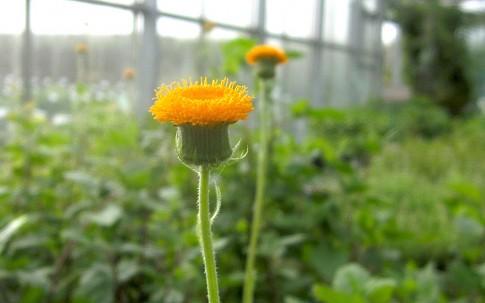 Embiribiri (Pflanze)