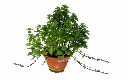 Kölnischwasserminze (Pflanze)