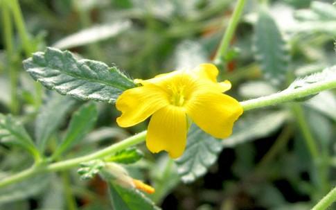 Damiana, schmalblättrig (Pflanze)