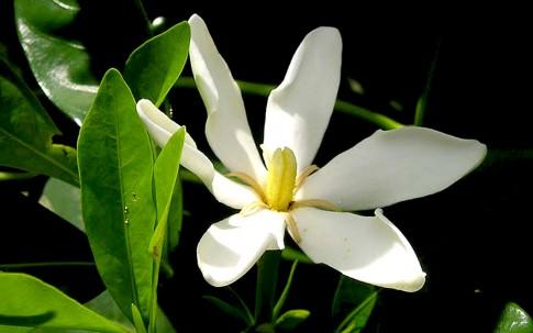 Gardenie (Saatgut)
