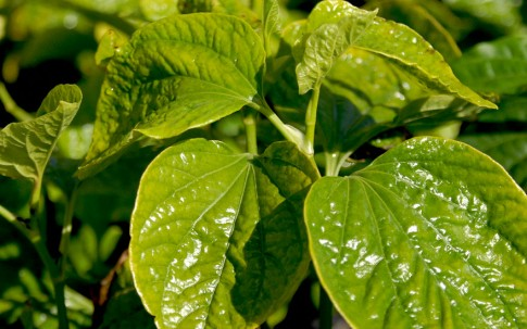 Thailändisches Pfefferblatt (Pflanze)