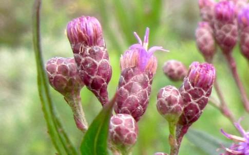 Vernonia (Pflanze)