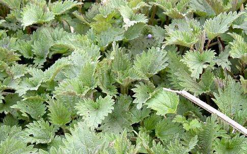Große Brennessel (Pflanze)