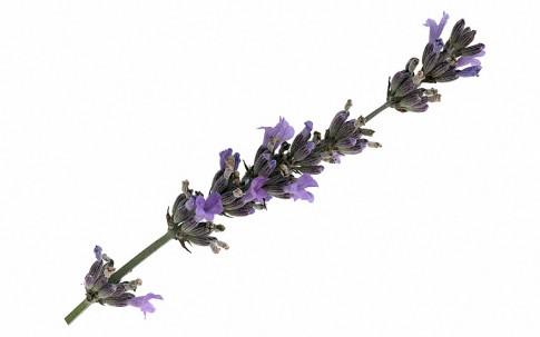 Provence-Lavendel 'Speciale' (Pflanze)