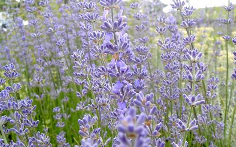 Lavendel 'Reve de Jean Claude' (Pflanze)
