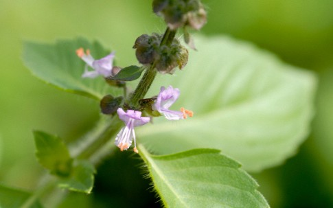 Wildes Basilikum (Tulsi) (Pflanze)