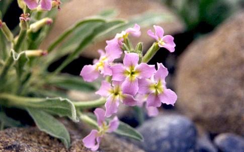 Ausdauernde Levkoje, purpur (Saatgut)