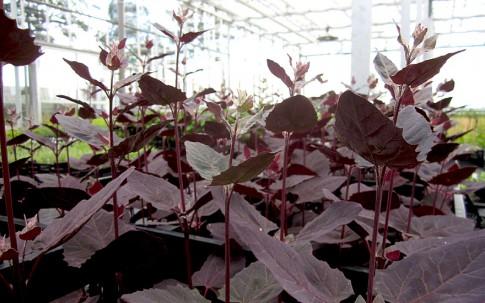 Gartenmelde, violett (Saatgut)