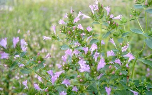 Blumen-Oregano (Pflanze)