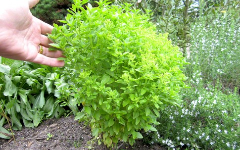 Cubanisches Strauchbasilikum (Pflanze)