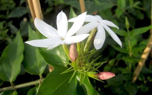 schmalbl ttriger jasmin pflanze jasminum angustifolium. Black Bedroom Furniture Sets. Home Design Ideas