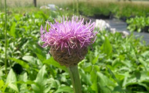 Hirschwurzel (Pflanze)