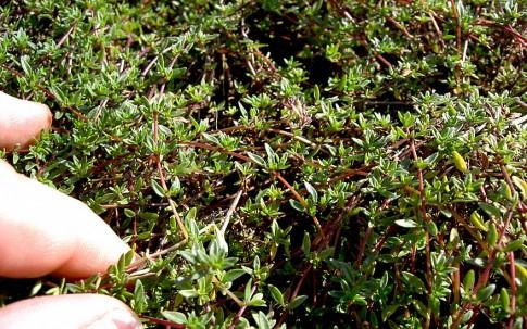 Zitronenthymian, kriechend (Pflanze)