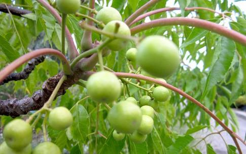 Perlenbaum (Saatgut)
