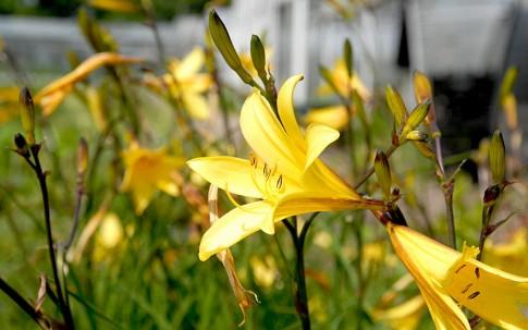 Zwerg-Taglilie (Pflanze)