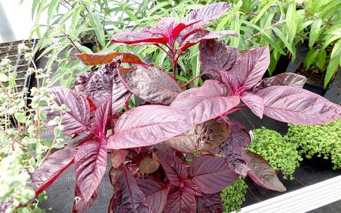 Amarant 'Hopi Red Dye' (Saatgut)