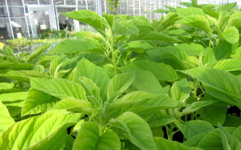 Green Callaloo (Saatgut)