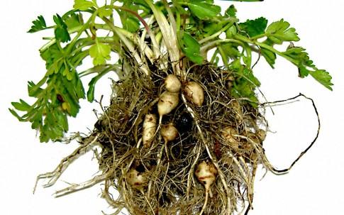 Erdkastanie (Pflanze)