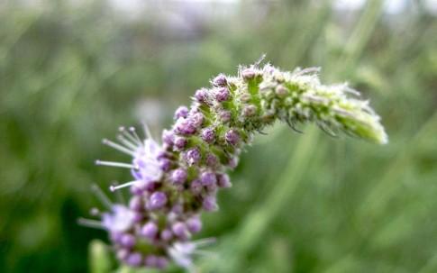 Habek-Minze (Pflanze)