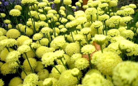 Erika-Zypressenkraut (Pflanze)