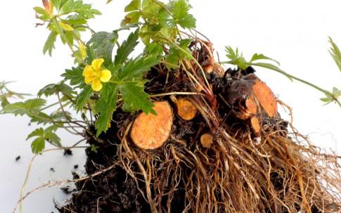 Blutwurz (Tormentill) (Pflanze)
