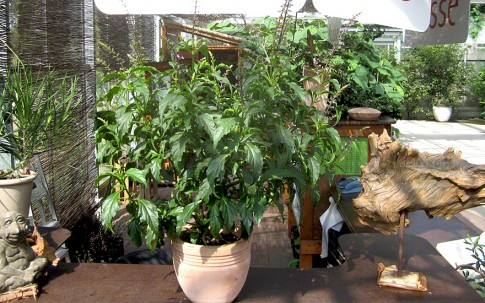 Basilikum 'Green Pepper' (Pflanze)