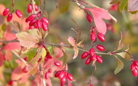 Sauerdorn, Berberitze (Pflanze)