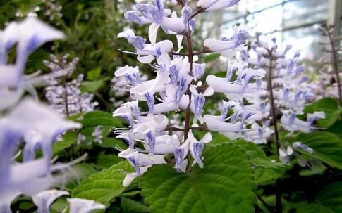 Zulu-Plectranthus (Pflanze)