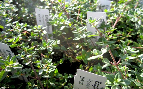 englischer thymian pflanze milde sorte mit gro en bl ttern thymian tagetes tuberose. Black Bedroom Furniture Sets. Home Design Ideas